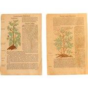 16th Century Renaissance Set of two Prints - Mandragora, Pycnocomon, Physalis - 1550's Botanical Woodcut (Hieronymus Bock)