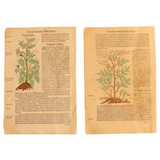 16th Century Renaissance Set of two Prints - Mandragora, Pycnocomon, Physalis - 1550's Botanical Woodcut (Hieronymus Bock)