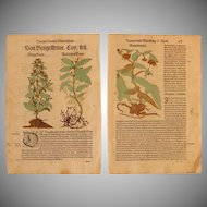 16th Century Renaissance Set of two Prints - Brooklime, Dog's Mercury, Elfdock - 1550's Botanical Woodcut (Hieronymus Bock)