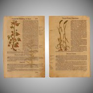 16th Century Renaissance Set of two Prints - Spelt, Corn & more - 1550's Botanical Woodcut (Hieronymus Bock)