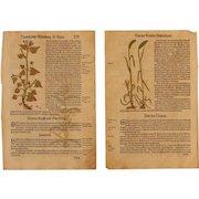 16th Century Renaissance Set of two Prints - Spelt, Corn & more - 1550's Botanical Woodcut (Hieronymus Bock)