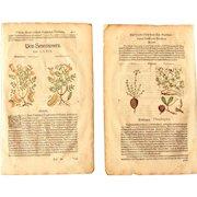 16th Century Renaissance Set of two Prints of Senna & Figwort - 1590's Botanical Woodcut