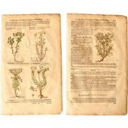 16th Century Set of Renaissance Prints of Gopher Plant, Alypum, Tithymalus - 1590's Botanical Woodcut