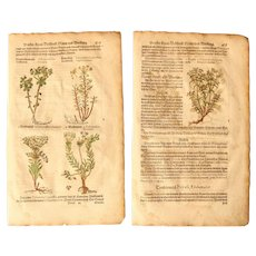 16th Century Set of Renaissance Prints of Gopher Plant, Alypum, Tithymalus - 1590's Botanical Woodcut