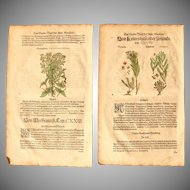 16th Century Renaissance Set of two Prints of Thymelaea, Chamaedaphne & Lathyris- 1590's Botanical Woodcut