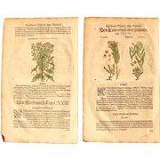 16th Century Renaissance Set of two Prints of Thymelaea, Chamaedaphne & Lathyris- 1590's Botanical Woodcut