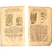 16th Century Renaissance Set of two Prints of Fern & Colutea - 1590's Botanical Woodcut
