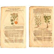 16th Century Set of Renaissance Prints of Marigold, Heliotropium, Scorpioides & Dog's Mercury - 1590's Botanical Woodcut