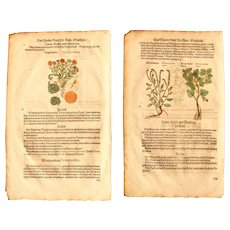 16th Century Set of Renaissance Prints of Marigold, Heliotropium, Scorpioides & Dog's Mercury - 1590's Botanical Woodcut
