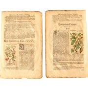 16th Century Renaissance Set of two Prints of Bittersweet Nightshade, Bitter Apple & Wild Cucumber - 1590's Botanical Woodcut