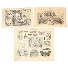 19th Century Set of three Prints of Animals incl. Vultures, Butterflies & Swiftlets - 1870's Zoology Steel Engraving