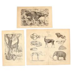 19th Century Set of three Prints of Animals incl. Elephant, Giraffe & Mammoth - 1870's Zoology Steel Engraving