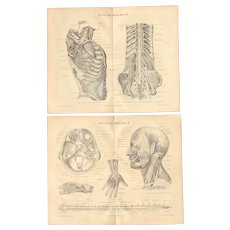 19th Century Set of two Prints of the nerve tracts of the human being - 1870's Anatomic Steel Engraving