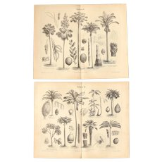 19th Century Set of two Prints of Palm Trees - 1870's Botanical  Steel Engraving