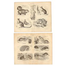 19th Century Set of two Prints of Marsupials & Insect-eater Mammals- 1870's Zoology Steel Engraving
