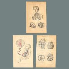 19th Century Set of three Prints of the human body ( Fetus / Heart / Brain ) - 1870's Anatomic Steel Engraving