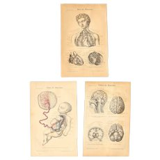 19th Century Set of three Prints of the human body ( Fetus / Heart / Brain ) - 1870's Anatomic Steel Engraving