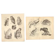 19th Century Set of two Prints of Birds including Owls & Pheasant - 1870's Zoology Steel Engraving