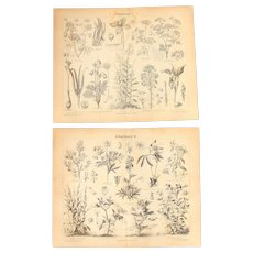 19th Century Set of two Prints of Toxic plants - 1870's Botanical Steel Engraving