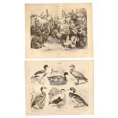 19th Century Set of two Prints of Birds including Ducks & Chicken- 1870's Zoology Steel Engraving