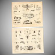 19th Century Set of two Prints of Insects incl. Bee & Ant - 1870's Zoology Steel Engraving