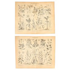 19th Century Set of two Prints of Stimulant Plants & Spice Plants - 1870's Botanical Steel Engraving