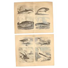 19th Century Set of two Prints of Seabirds, Dolphin and Whale - 1870's Zoology Steel Engraving