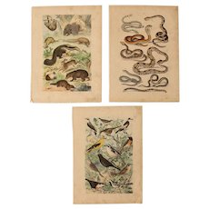 19th Century Set of Three Animal Prints - 1840's Zoology Steel Engraving coloured
