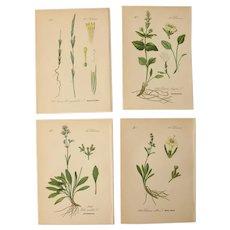 19th Century Set of 4 Floral Lithographs - 1880's Botanical Prints