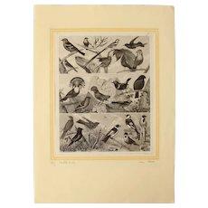 1850's Original Antique Steel Engravings - Birds