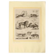 1850's Original Antique Steel Engravings - Cats like Lion, Tiger, etc
