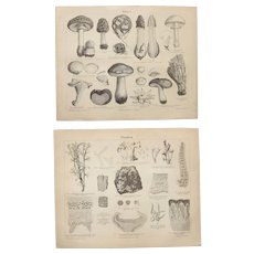 19th Century Set of two Prints of Mushrooms & Lichen - 1870's Steel Engravings about Fungi