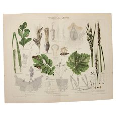 19th Century Polychrome Lithograph of Plant Diseases - 1878 Botanical Print
