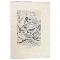 19th Century Print of Birds including Great tit, Blue Tit, Crested Tit and more - 1881 Zoology Steel Engraving