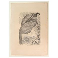 19th Century Print of Birds - Great Argus Pheasant - 1881 Zoology Steel Engraving