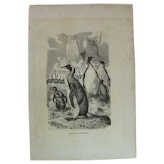 19th Century Print of Birds - Penguin - 1881 Zoology Steel Engraving