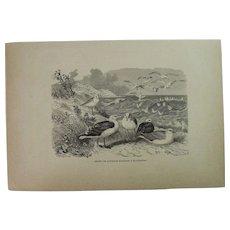 19th Century Print of Birds - Seagulls - 1881 Zoology Steel Engraving