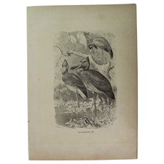 19th Century Print of Birds - Shoebill - 1881 Zoology Steel Engraving