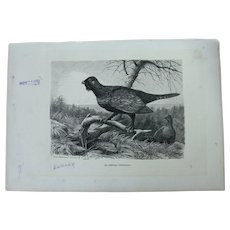 19th Century Print of Birds - Western capercaillie - 1881 Zoology Steel Engraving