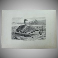 19th Century Print of Birds - Cape Barren Goose - 1881 Zoology Steel Engraving