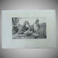 19th Century Print of Birds - Crowned pigeon - 1881 Zoology Steel Engraving