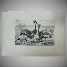 19th Century Print of Birds - Grey Crowned Crane - 1881 Zoology Steel Engraving