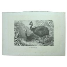 19th Century Print of Birds - Cassowary - 1881 Zoology Steel Engraving