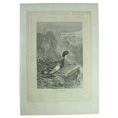 19th Century Print of Birds - Mallard Duck - 1881 Zoology Steel Engraving