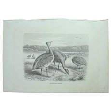 19th Century Print of Birds - Great Bustard - 1881 Zoology Steel Engraving