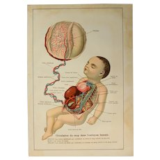 Art Nouveau Print of the Human Embryo and Placenta - 1907 Polychrome Lithograph