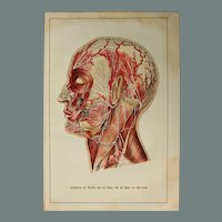 Art Nouveau Print of the Nerves and Veins of the Human Head - 1907 Polychrome Lithograph