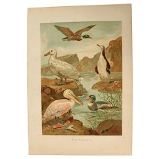 19th Century Print of Birds - Water Birds- 1881 Zoology Polychrome Lithograph