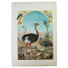 19th Century Print of Birds - Runners Birds- 1882 Zoology Polychrome Lithograph
