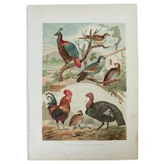 19th Century Print of Birds - Galliformes Birds- 1881 Zoology Polychrome Lithograph
